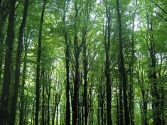 Bukové porosty jsou protuto část Českého lesa typické.